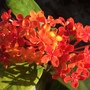 Ixora javanica - Jungle Geranium or Ixora (Ixora javanica - Jungle Geranium or Ixora)
