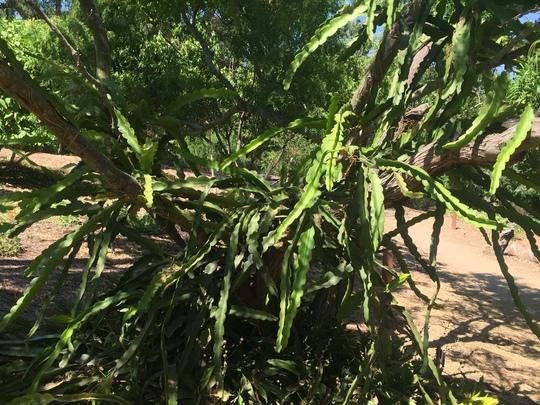 Hylocereus undatus - Dragon Fruit or Pitahaya (Hylocereus undatus - Dragon Fruit or Pitahaya)
