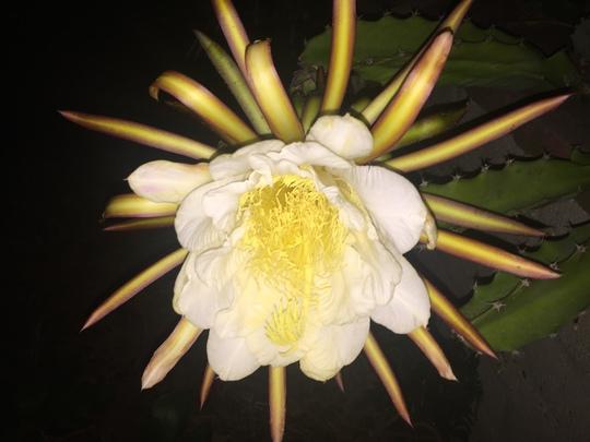 Hylocereus undatus - Dragon Fruit Flower (Hylocereus undatus - Dragon Fruit Flower)