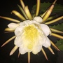 Hylocereus undatus - Dragon Fruit Flower (Hylocereus undatus - Dragon Fruit Flower)
