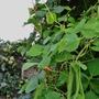 Espalier Apples and runner beans