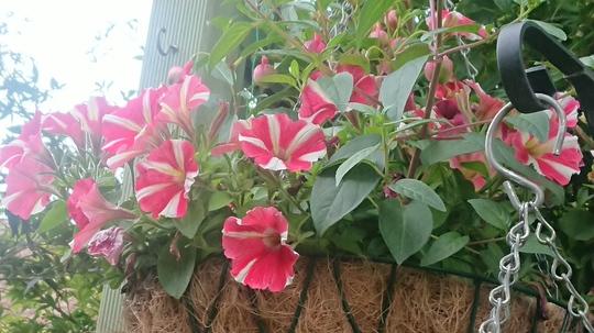 Basket Petunia