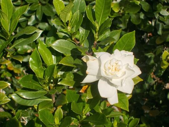 gardenia - mom's garden 6/08