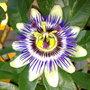 passoin flower