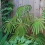 Begonia luxurians (Palm leaf Begonia) (Begonia luxurians)