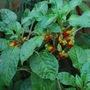 Parrot Plant...... (Impatiens niamniamensis (Parrot Plant))