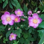 Anemone Pretty Lady Susan.... (Anemone hupehensis (Japanese anemone))