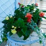 Basket of Begonias