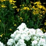Davidii Phlox and Perennial Sunflowers