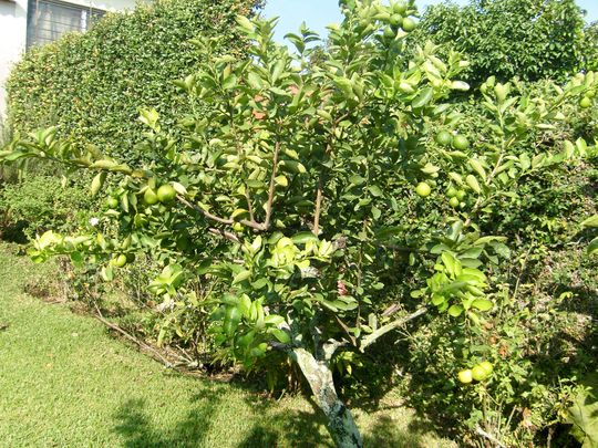 lime tree - mom's garden 6/08