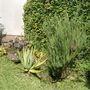 rosemary - mom's garden 6/08