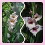 Gladiolus...... (Gladiolus........)