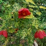 Ablution Cannington Peter.... (Abutilon)