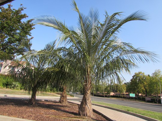 Palms in Union City- near my house. (Parajubaea torallyi)