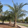 Palms in Union City- near my house. (Parajubaea torallyi)