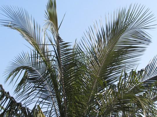 Nice feathery fronded palm (Parajubaea torallyi)