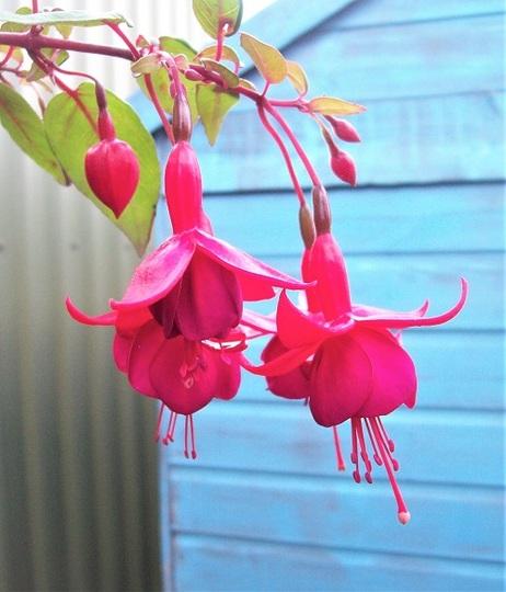 Fuchsia 'Marinka'
