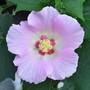 Hibiscus - Bright Horizon sdlg (Hibiscus)