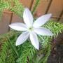 Kafir lily