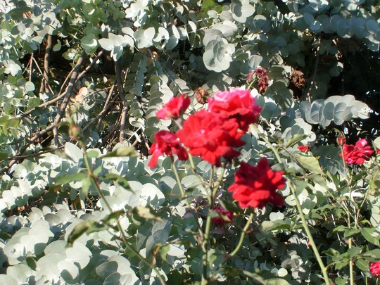 eucalyptus and red roses - mom's garden 6/08