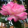 Re flowering Handle Rose.