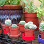 Some small new cacti from a well known store that doesn't look after it's plants very well.