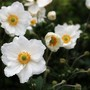 Anemone (Anemone x hybrida (Japanese anemone))