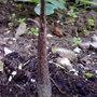 voodoo plant