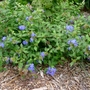 Ceratostigma willmottianum 'Forest Blue' - 2018 (Ceratostigma willmottianum)