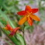 Crocosmia_jackanapes_2018
