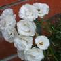 white roses - mom's garden 6/08