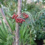 First Fruit :) Sorbus 'Chinese Lace' (Sorbus x Chinese Lace)