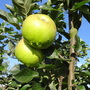 Cobra Apples....... now being used for puddings....