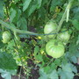 Beefsteak Tomato..hoping for more warm days for them to ripen