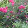 magenta roses - mom's garden 6/08