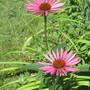 IMG 7606- Echinacea purpurea