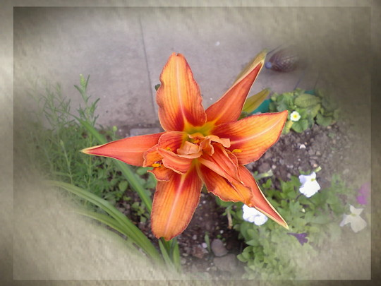 sumer Day lilly