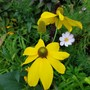 Last one I promise! (Rudbeckia laciniata (Cutleaf Coneflower))