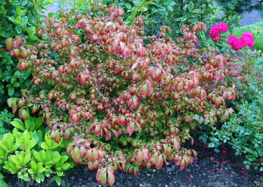Euonymus is half way to autumn already!