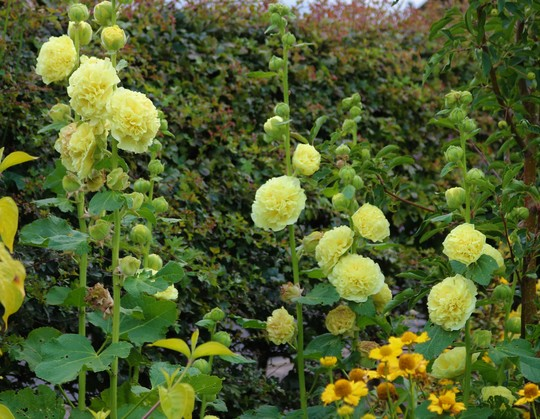 Double Yellow Hollyhocks 'Chater's Yellow'