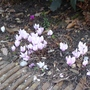 Cyclamen hederifolium - 2018 (Cyclamen hederifolium)