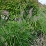 Pennisetum alopecuroides 'Hameln' - 2018 (Pennisetum alopecuroides 'Hameln')