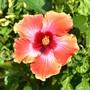 Hibiscus 'Cosmic Dancer' 2 (Hibiscus rosa-sinensis (Chinese Hibiscus))