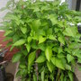 Capsicum_annuum.sweet_pepper.
