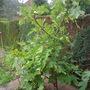 common fig (Ficus carica.)