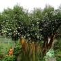 Luma appiculata - 2018 (Luma apiculata)