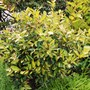 Elaeagnus for my records...it has grown beautifully. (Elaeagnus pungens (Elaeagnus))