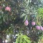 next door neighbor's mango trees - 6/08