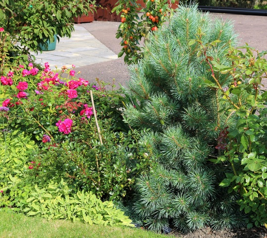 Pinus 'Chantry Blue'