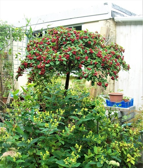 Cotoneaster and Hypericum